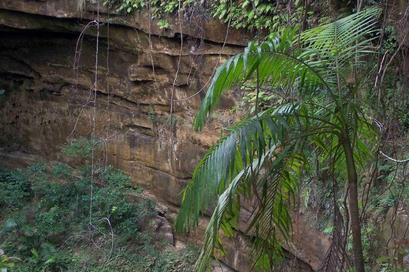 Archontophoenix en hábitat