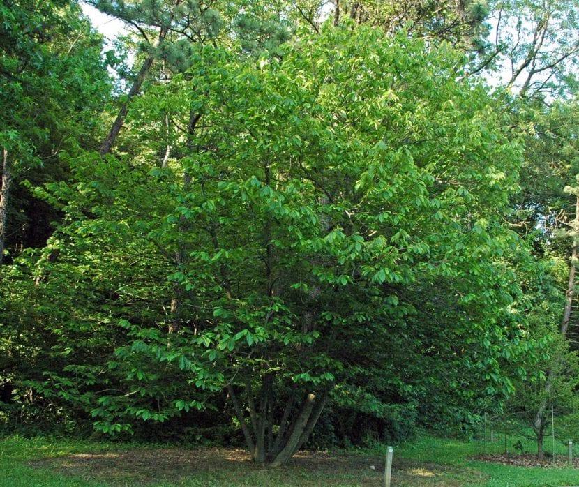 Vista del árbol de Asimina