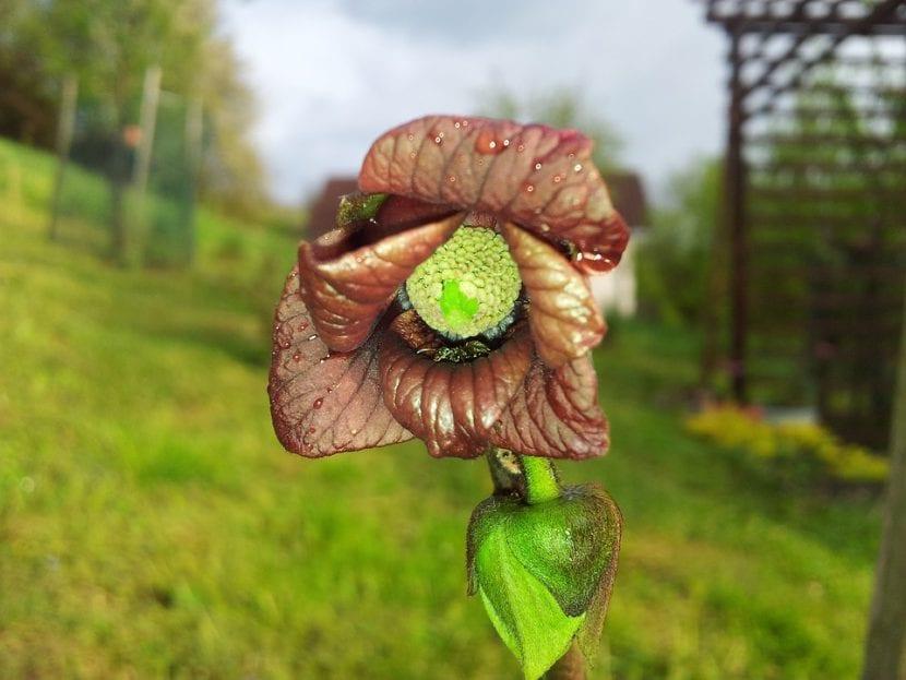 Flor de Asimina triloba