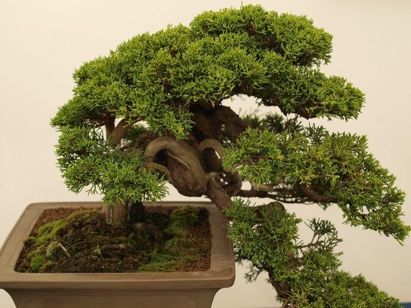 Las coníferas son estupendas como bonsái