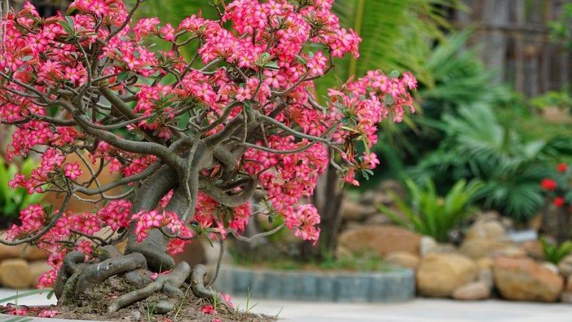 Los Adenium son plantas que se asemejan a los bonsais