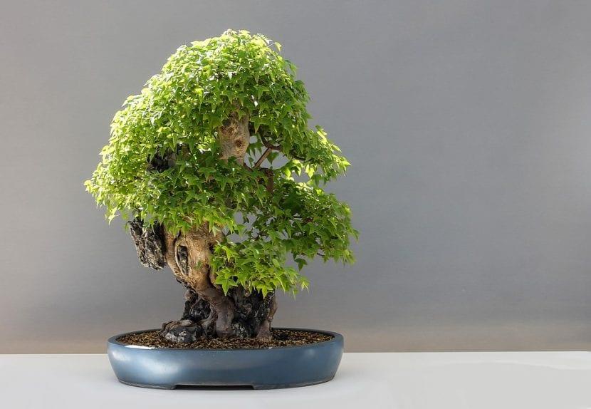 Los arces son árboles idóneos para trabajar como bonsái
