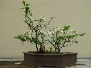 Vista del bonsái de Chaenomeles de flor blanca