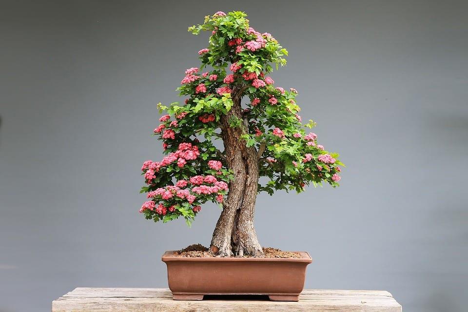 Los bonsais son árboles en miniatura