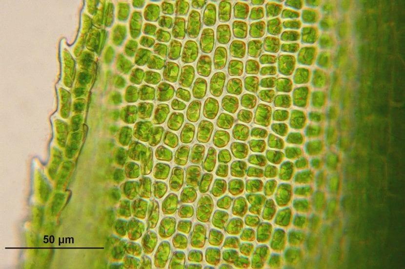 Las fitorhomonas se producen en las células de las plantas