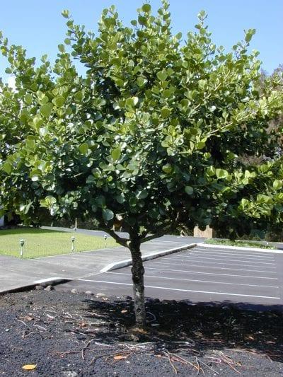 Vista del árbol de Clusia rosea