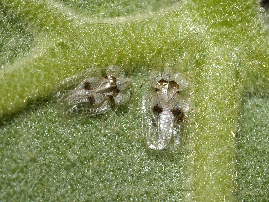 Corythucha ciliata