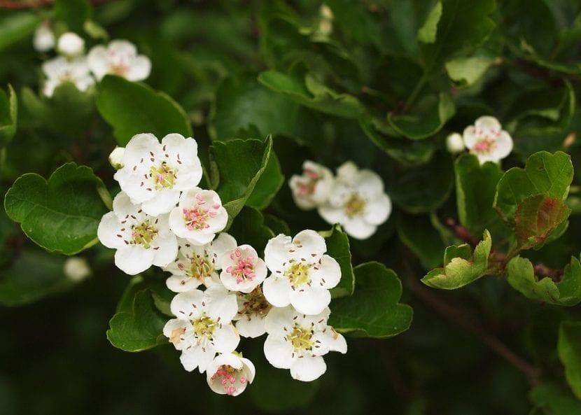 Flores de Crataegus laevigata
