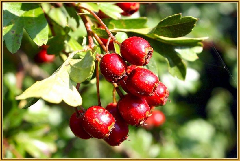 Frutos de Crataegus laevigata