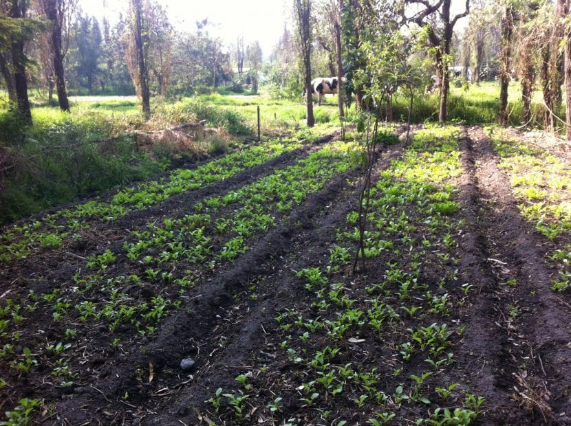 El rábano se puede cultivar en maceta o en el huerto