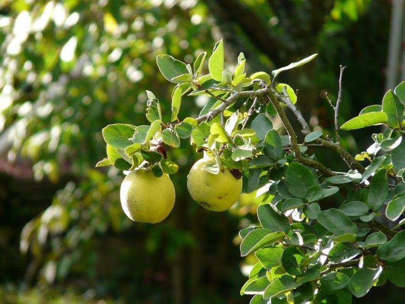Con los frutos del membrillo se hacen mermeladas