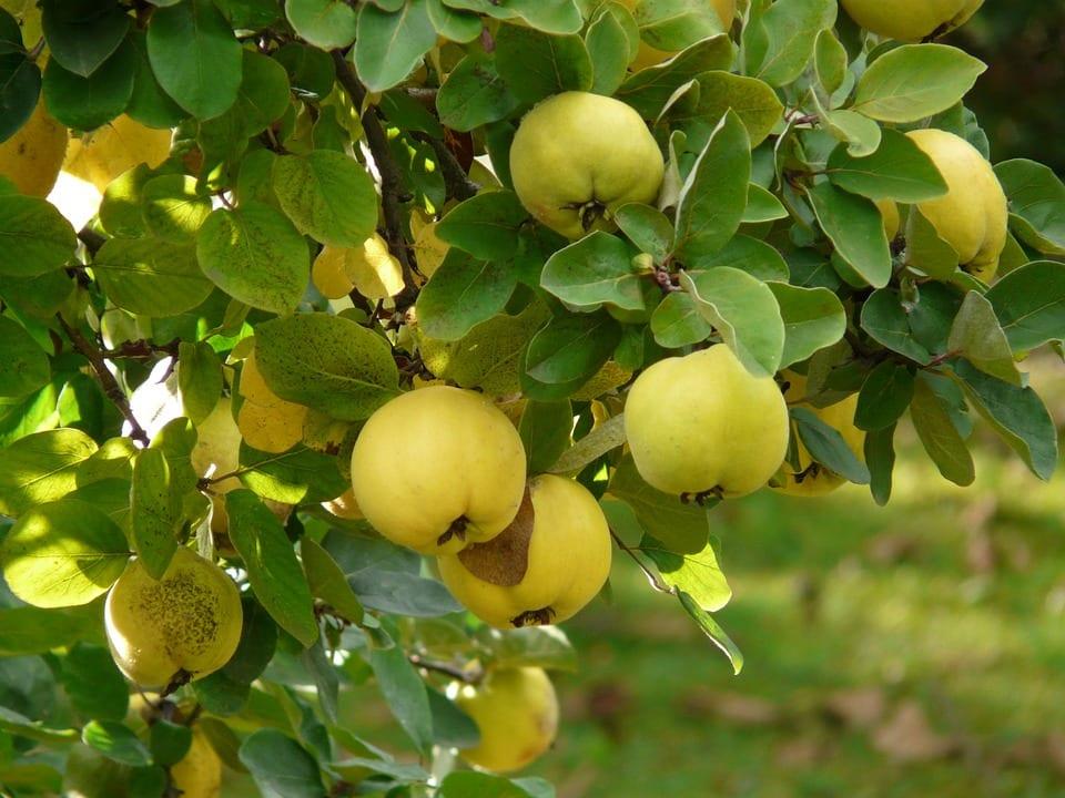 Vista de las hojas y frutos de la Cydonia oblonga