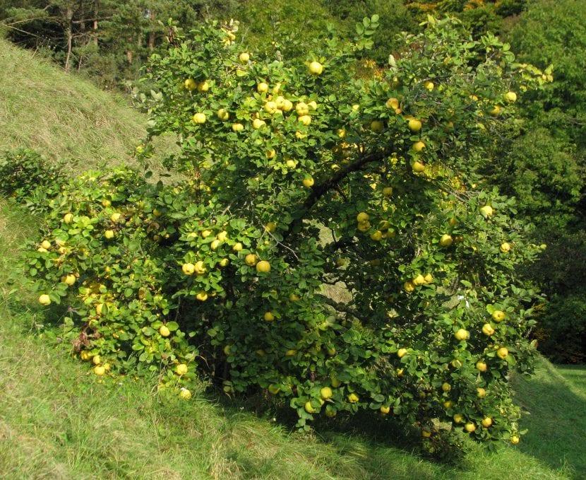 Vista del árbol de membrillo