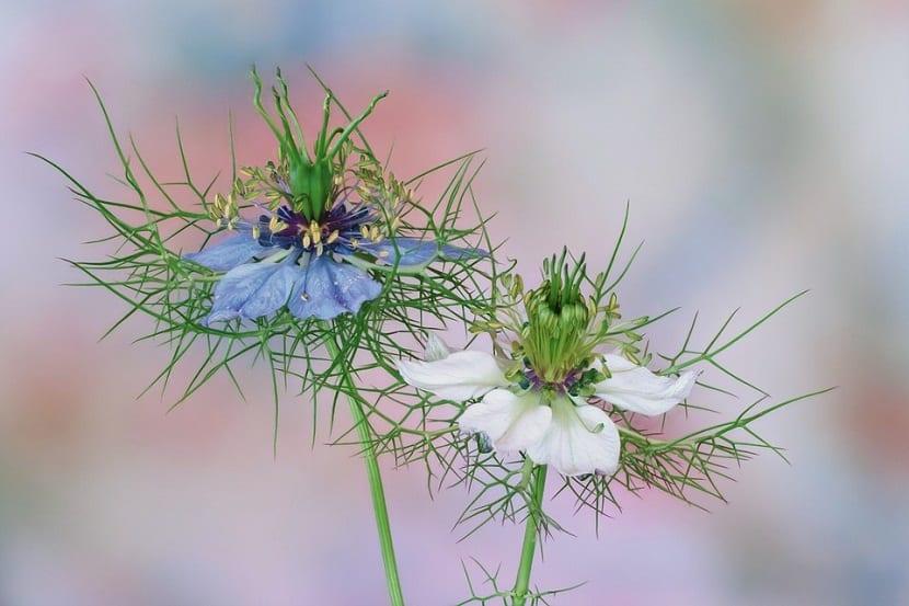 dos flores con pétalos de color banco y azul