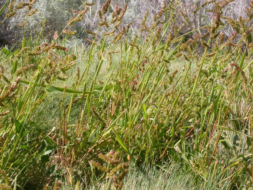 Planta Echinochloa crus-galli