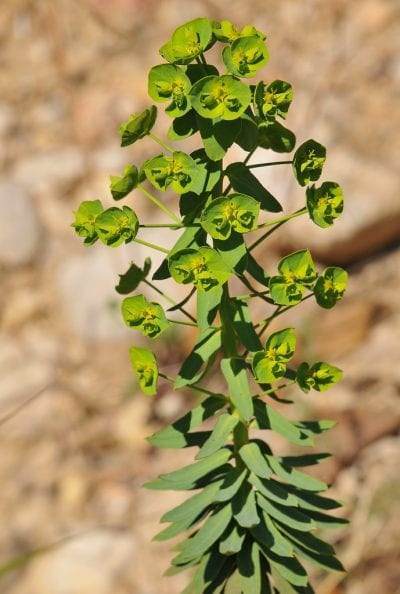 Planta de Euphorbia segetalis