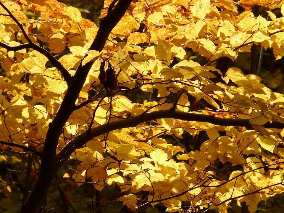 Los Fagus son árboles de hoja caduca