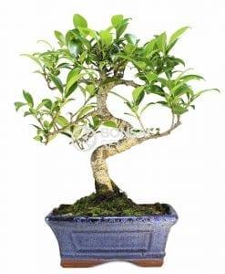 Proyecto de bonsái de Ficus retusa