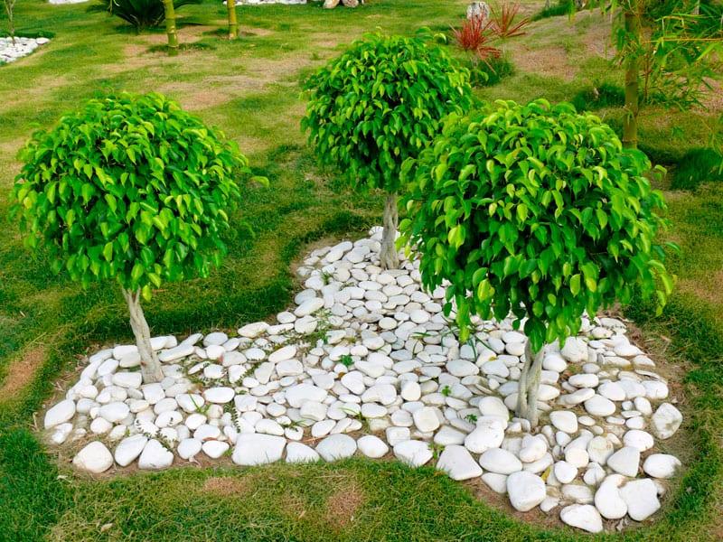 Vista de los Ficus Danielle