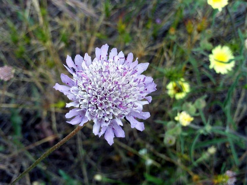 Una flor morada entre pequenas flores amarillas