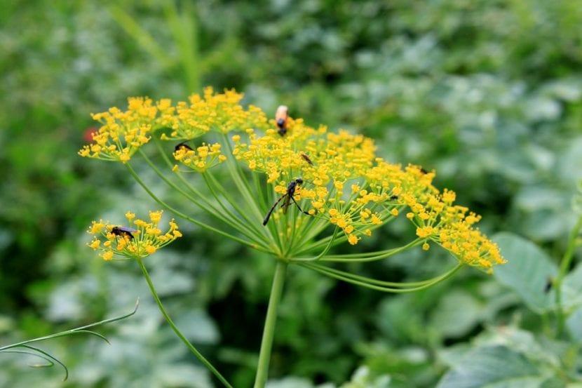 Flores de las apiáceas
