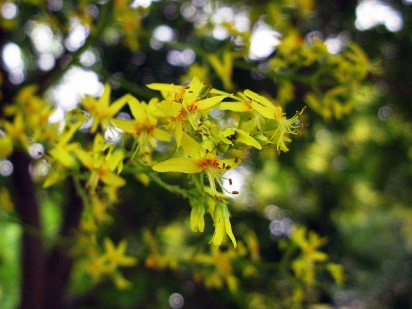 Las flores del jabonero chino son amarillas
