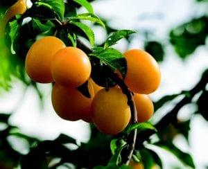 fruta pequeña de color naranja en la rama de un arbol