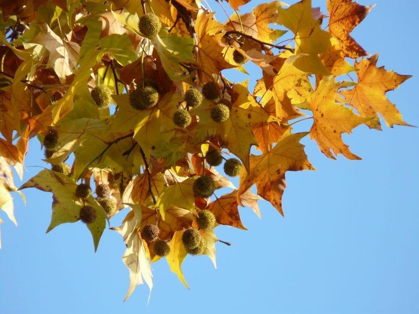 Las hojas del Platanus se vuelven anaranjadas en otoño