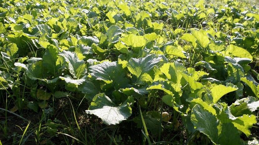 grandes hojas verdes en huerta llamados grelos