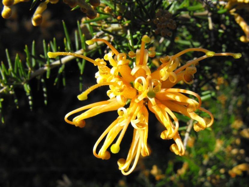 Flor amarilla de Grevillea juniperina