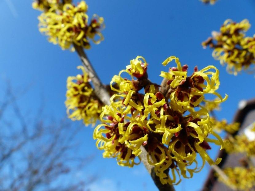 Flores de Hamamelis