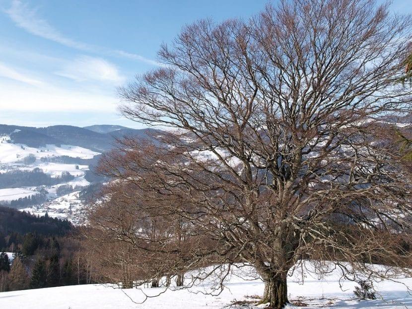 El haya en invierno no tiene hojas