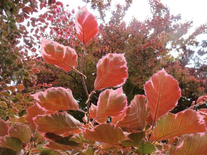 Las hojas del haya europea son de tamaño mediano