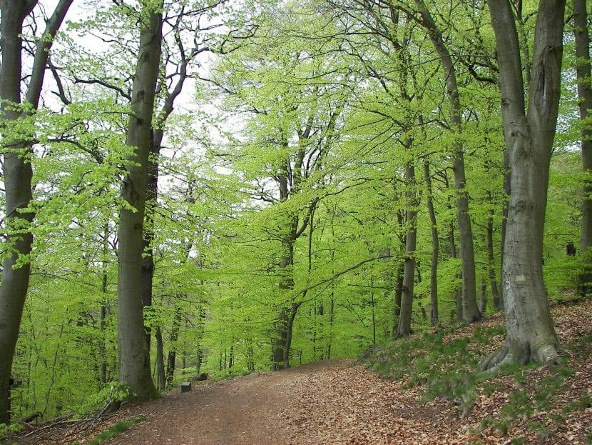 Las hayas suelen formar bosques llamados hayedos