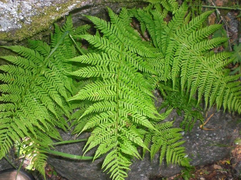 helecho ornamental en suelo