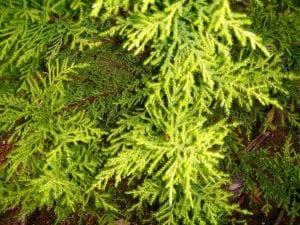 Las hojas del pino limonero son verde-amarillentas