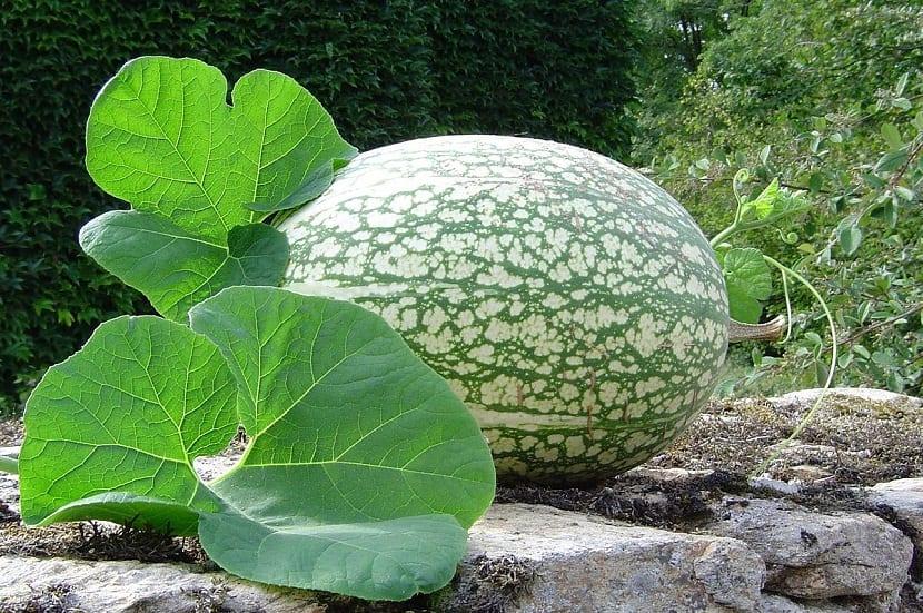 imagen de una Calabaza cidra con grandes hojas