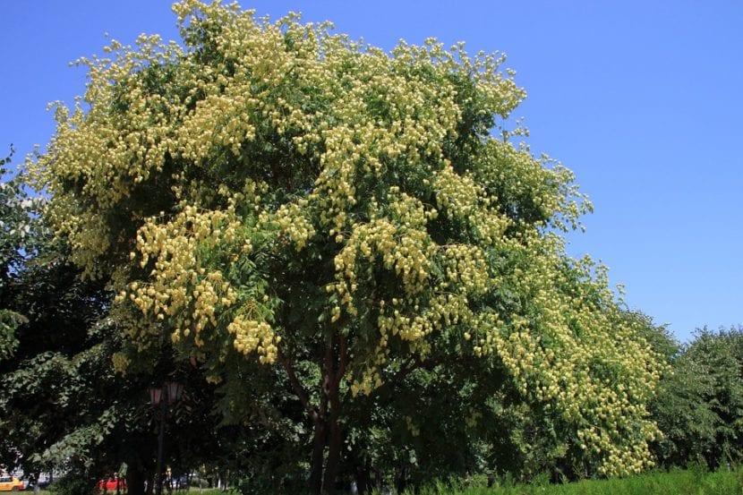 La Koelreuteria paniculata es un árbol ideal para todo tipo de jardines