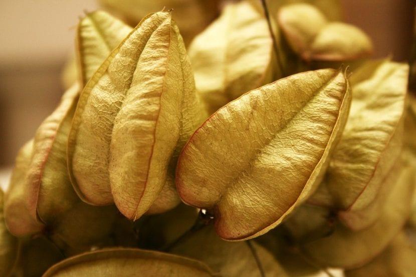 Los frutos de la Koelreuteria paniculata son secos