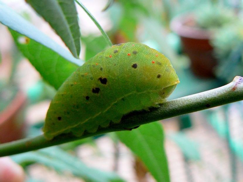 Larva de la mariposa chupaleche