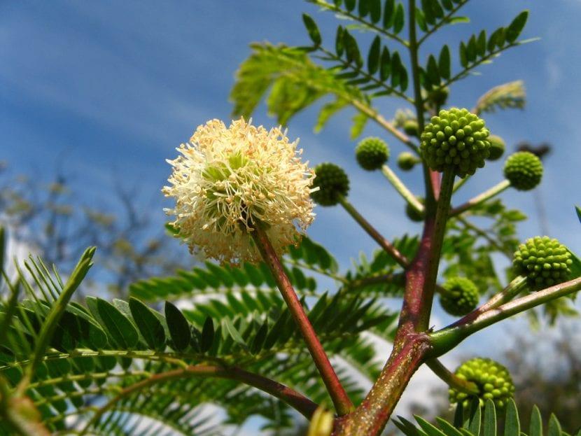Vista de la flor de la Leucaena leucocephala