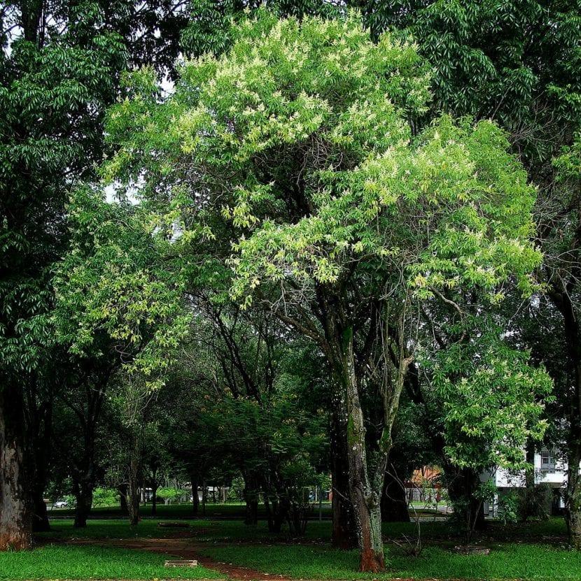 Vista del árbol Ligustrum lucidum