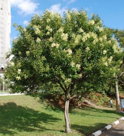 El Ligustrum lucidum es un arbolito ideal para jardines pequeños