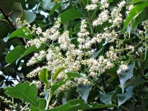 Las flores del Ligustrum lucidum son blancas