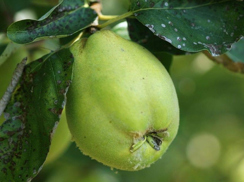 El fruto del membrillo es comestible