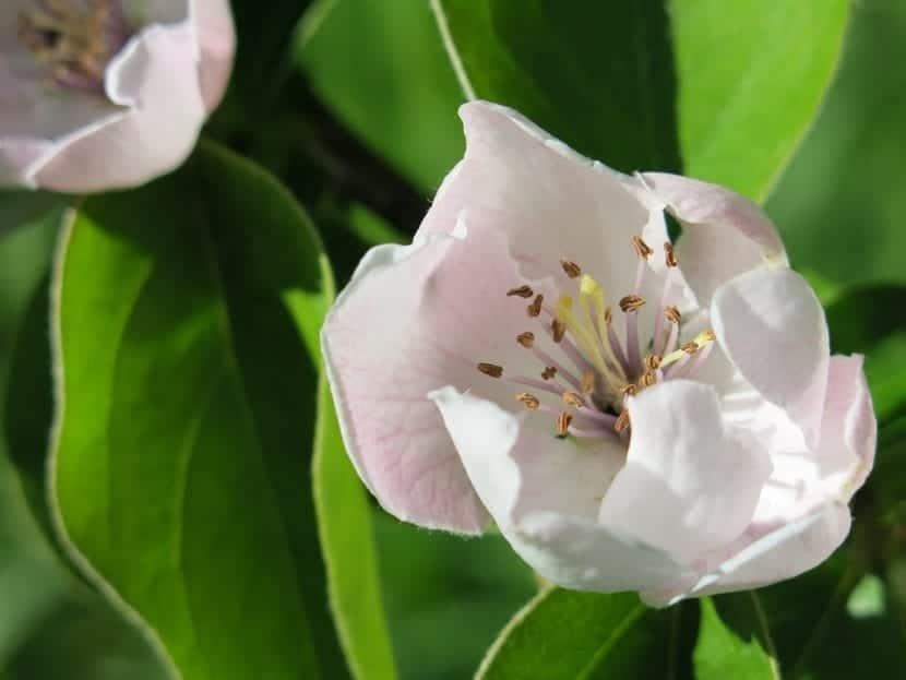 Las flores del membrillo son muy bonitas