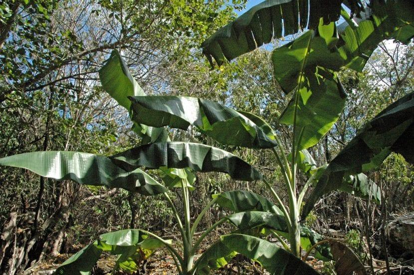 Plantas de Musa acuminata