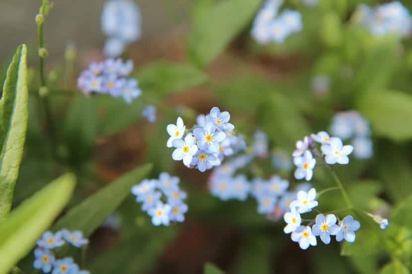 Las flores del Myosotis son pequeñas