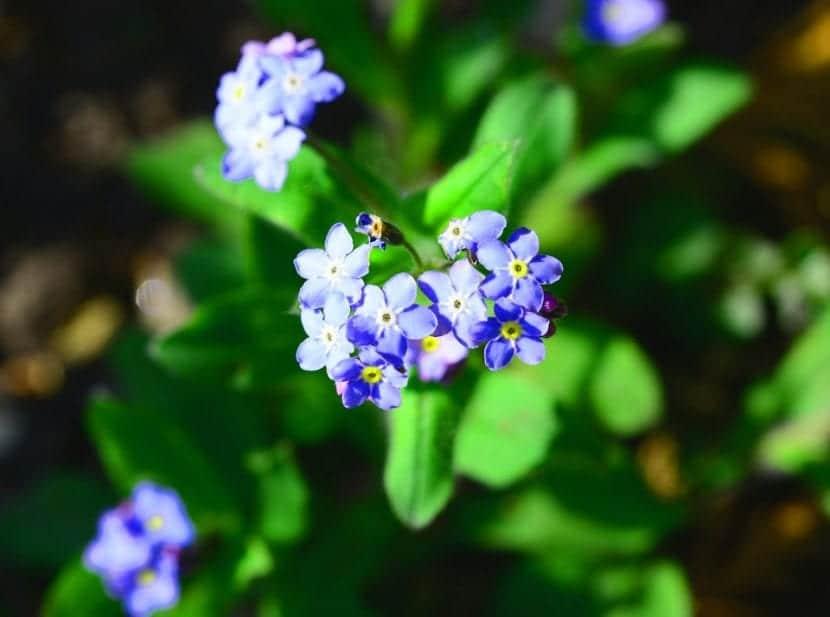 La planta Myosotis se puede cultivar en maceta