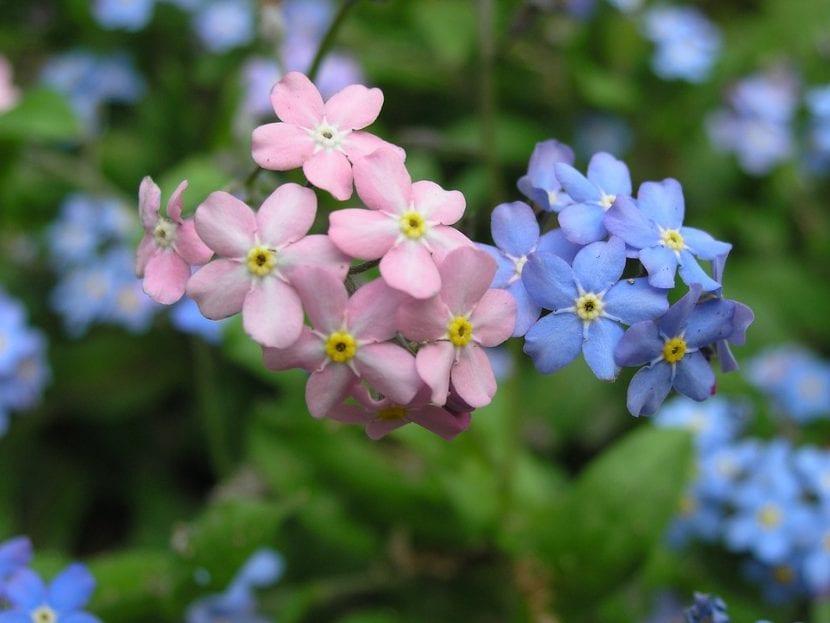 Las flores de Myosotis pueden ser azules o rosas